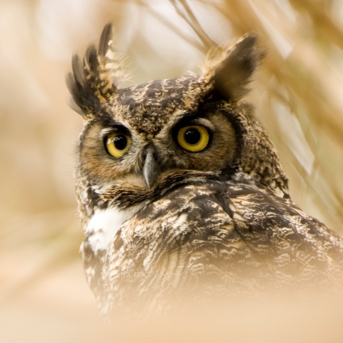 C:\Users\Алексей\Desktop\great-horned-owl.jpg