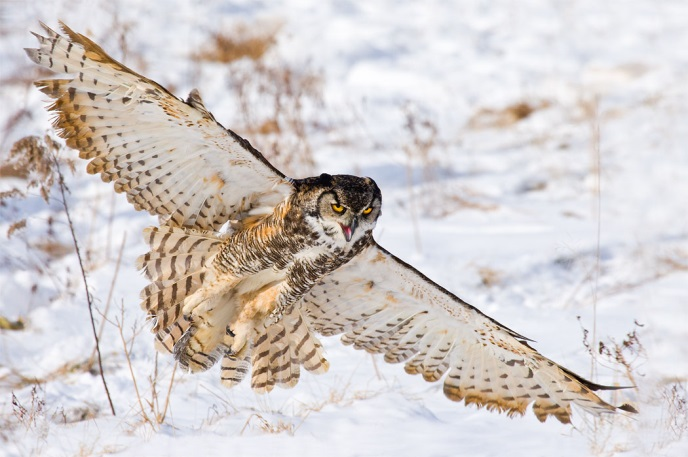 C:\Users\Алексей\Desktop\ss-great-horned-owl.jpg