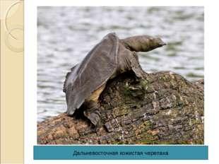 Дальневосточная кожистая черепаха