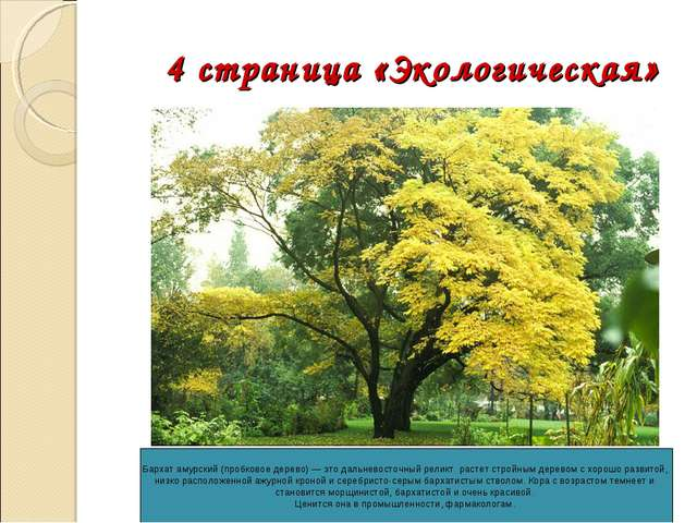 4 страница «Экологическая» Бархат амурский (пробковое дерево) — это дальнево...