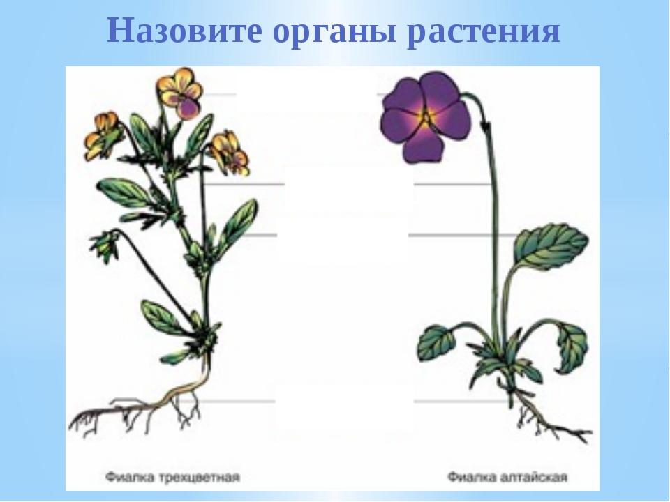Назовите органы растения