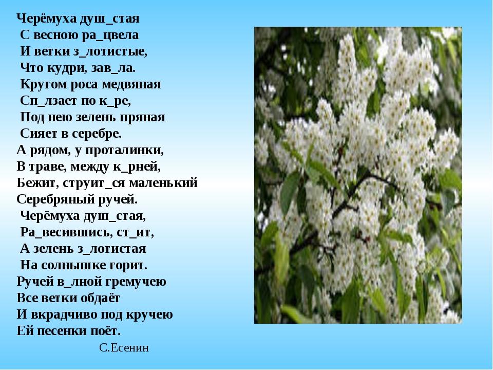 Черёмуха душ_стая С весною ра_цвела И ветки з_лотистые, Что кудри, зав_ла. Кр...