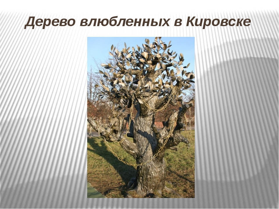 Дерево влюбленных в Кировске
