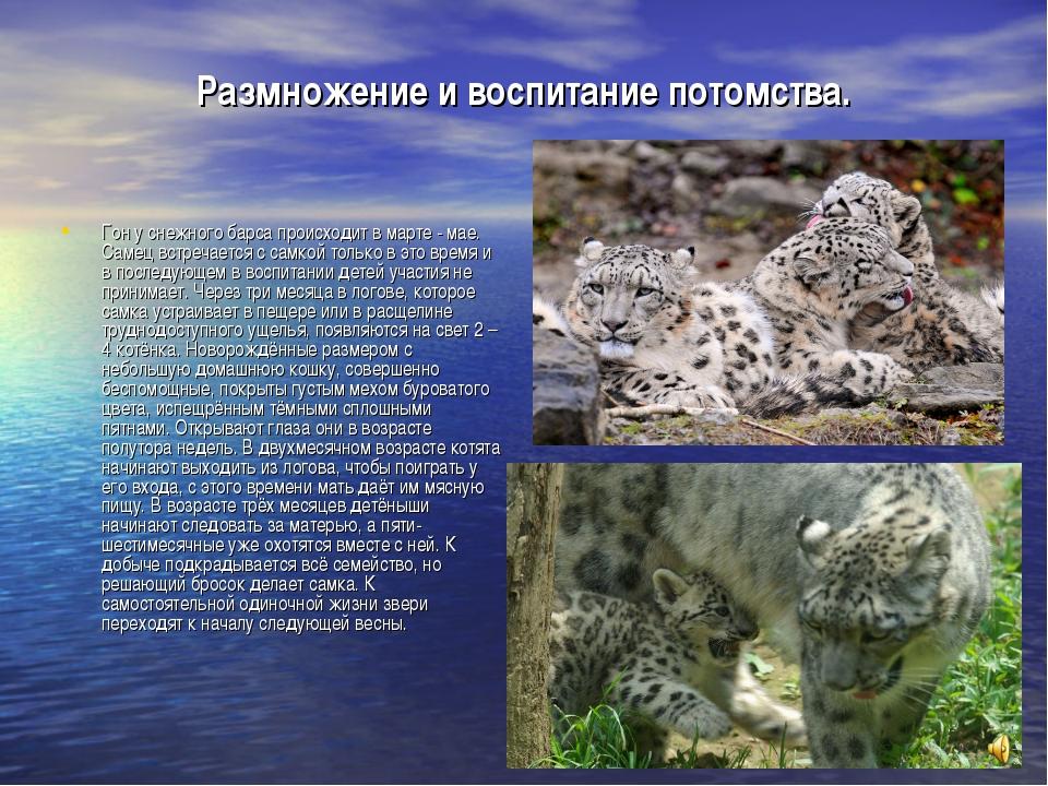 Размножение и воспитание потомства. Гон у снежного барса происходит в марте -...
