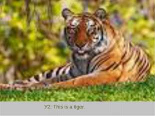 У2: This is a tiger.