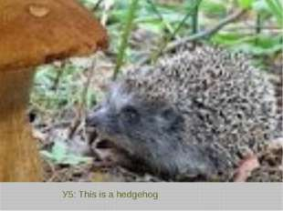 У5: This is a hedgehog