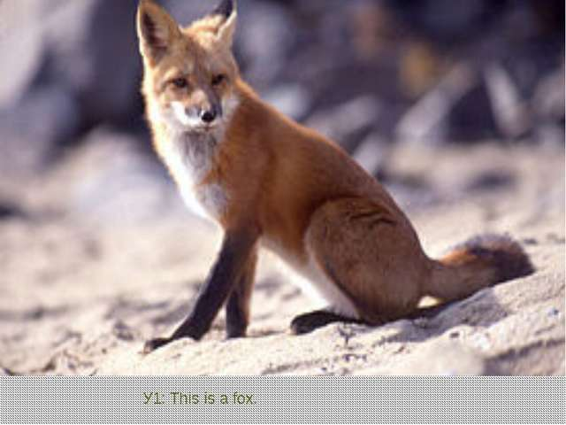 У1: This is a fox.
