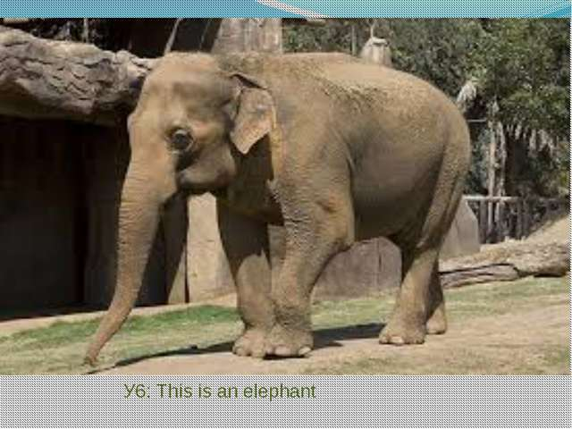 У6: This is an elephant