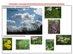 Степная и луговая растительность Цильнинского района Клевер луговой Овсюг Зуб