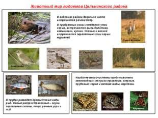 Животный мир водоемов Цильнинского района В водоемах района довольно часто вс