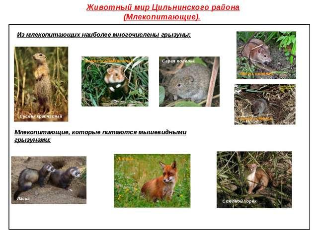 Животный мир Цильнинского района (Млекопитающие). Из млекопитающих наиболее м...