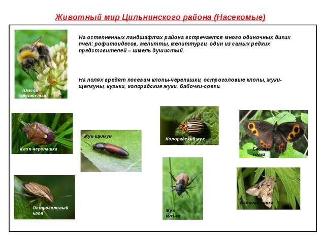 Животный мир Цильнинского района (Насекомые) На остепненных ландшафтах района...