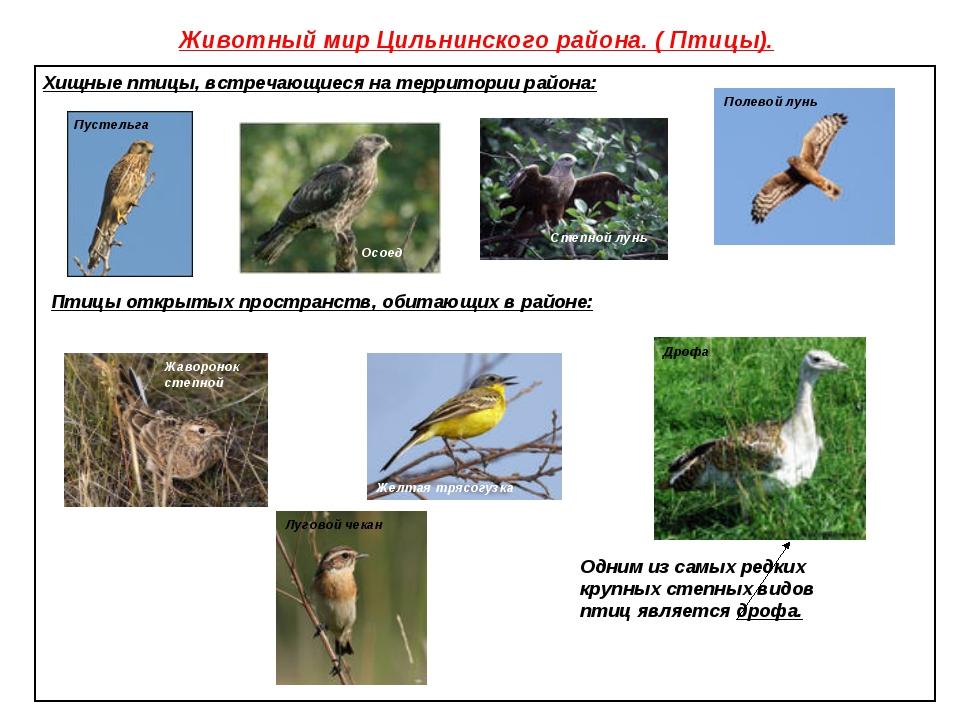 Животный мир Цильнинского района. ( Птицы). Хищные птицы, встречающиеся на те...