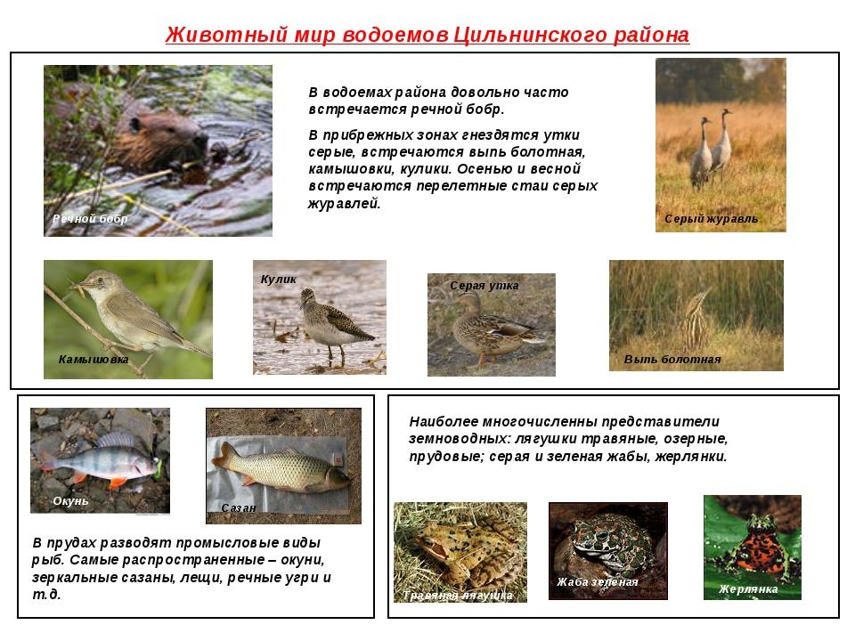 Животный мир водоемов Цильнинского района В водоемах района довольно часто вс...