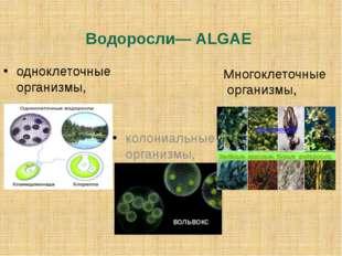 Водоросли— ALGAE одноклеточные организмы, колониальные организмы, Многоклеточ