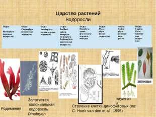 Царство растений Водоросли Родимения Золотистая колониальная водоросль Dino