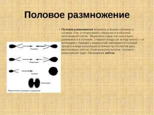 Половое размножение Половое размножение возможно в форме изогамии и оогамии.