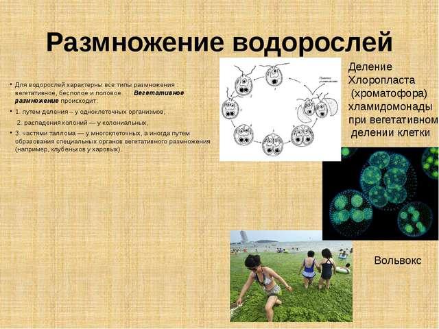 Размножение водорослей Для водорослей характерны все типы размножения : вегет...