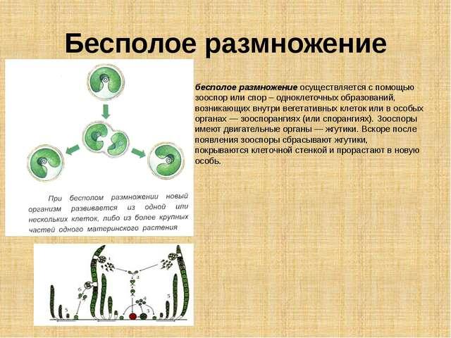 Бесполое размножение бесполое размножение осуществляется с помощью зооспор ил...