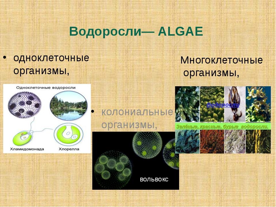 Водоросли— ALGAE одноклеточные организмы, колониальные организмы, Многоклеточ...