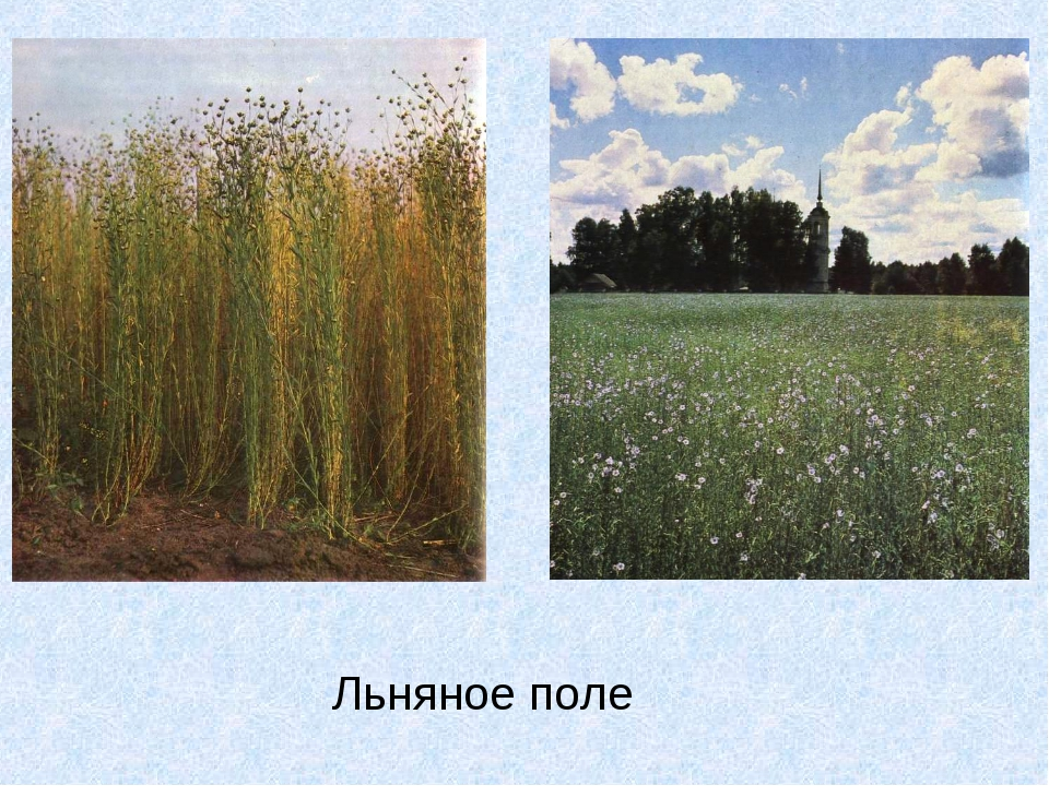 Льняное поле