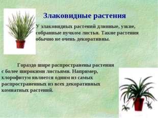 Злаковидные растения  У злаковидных растений длинные, узкие, собранные пучк