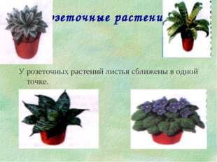 Розеточные растения У розеточных растений листья сближены в одной точке.