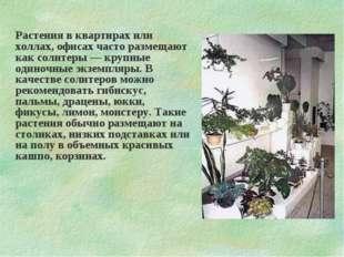 Растения в квартирах или холлах, офисах часто размещают как солитеры — крупны
