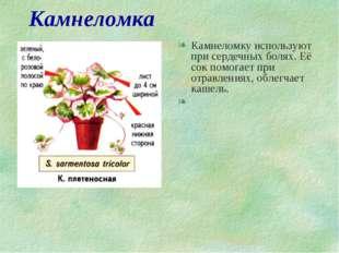 Камнеломка Камнеломку используют при сердечных болях. Её сок помогает при отр