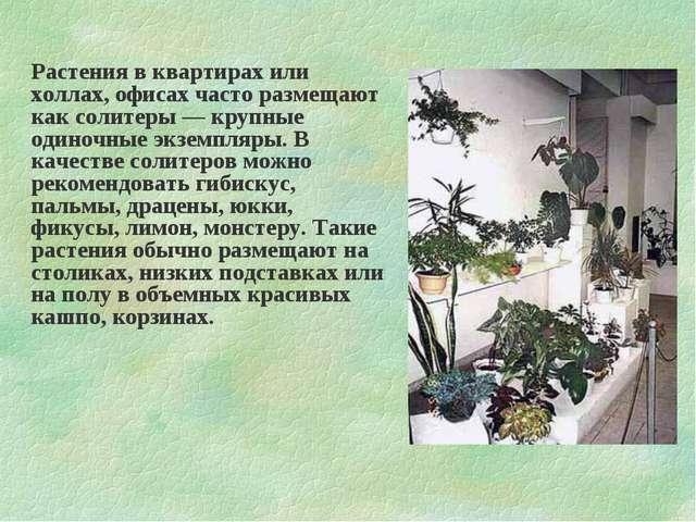 Растения в квартирах или холлах, офисах часто размещают как солитеры — крупны...