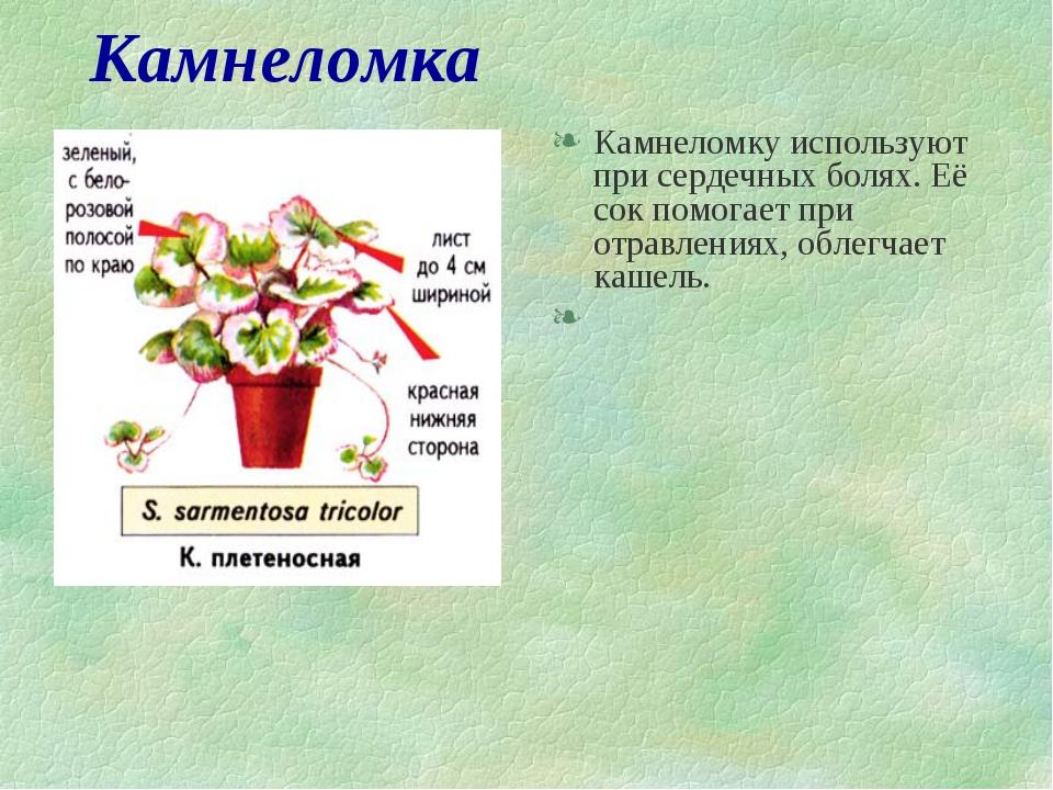 Камнеломка Камнеломку используют при сердечных болях. Её сок помогает при отр...