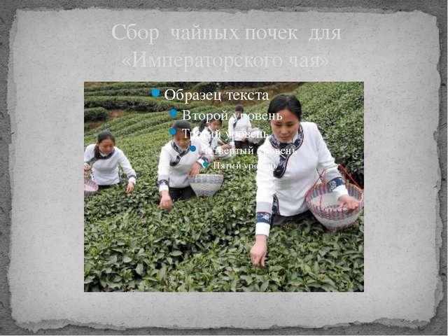 Сбор чайных почек для «Императорского чая»