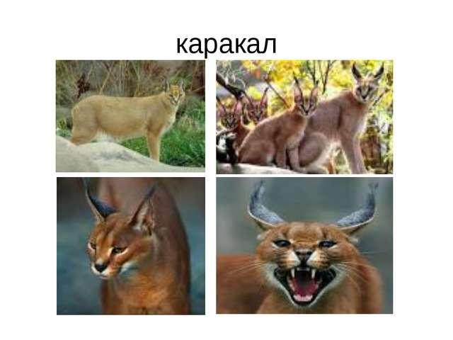 каракал