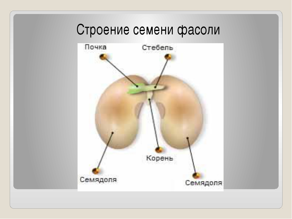 Рисунок семени биология 6 класс