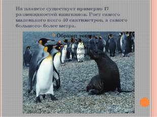 На планете существует примерно 17 разновидностей пингвинов. Рост самого мален