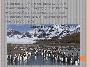 Пингвины своим острым клювом ловят добычу. Во рту у них вместо зубов- особые