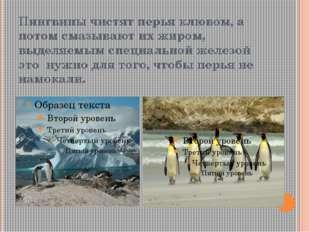 Пингвины чистят перья клювом, а потом смазывают их жиром, выделяемым специаль