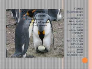 Самка императорского пингвина в мае- июле откладывает одно яйцо. ОНИ ДЕРЖАТ