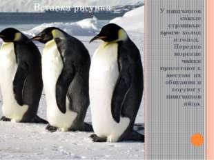 У пингвинов самые страшные враги- холод и голод. Нередко морские чайки приле