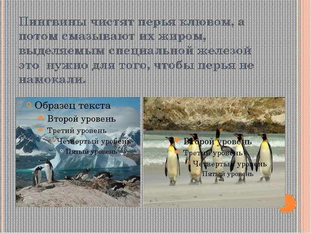 Пингвины чистят перья клювом, а потом смазывают их жиром, выделяемым специаль...