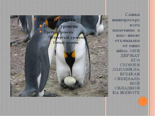 Самка императорского пингвина в мае- июле откладывает одно яйцо. ОНИ ДЕРЖАТ...