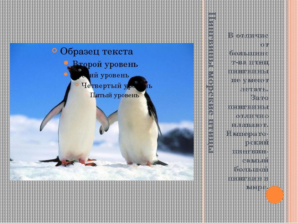 Пингвины морские птицы В отличие от большинст-ва птиц пингвины не умеют летат...