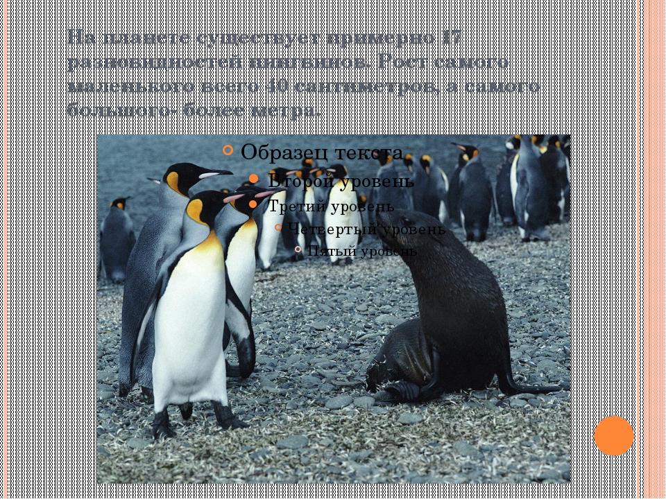 На планете существует примерно 17 разновидностей пингвинов. Рост самого мален...