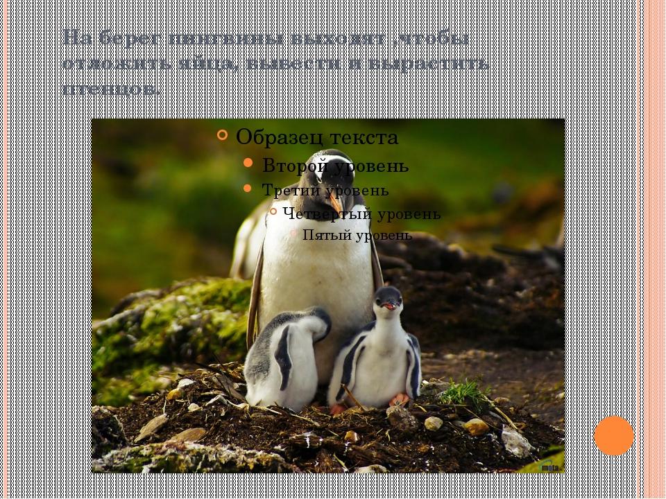 На берег пингвины выходят ,чтобы отложить яйца, вывести и вырастить птенцов.