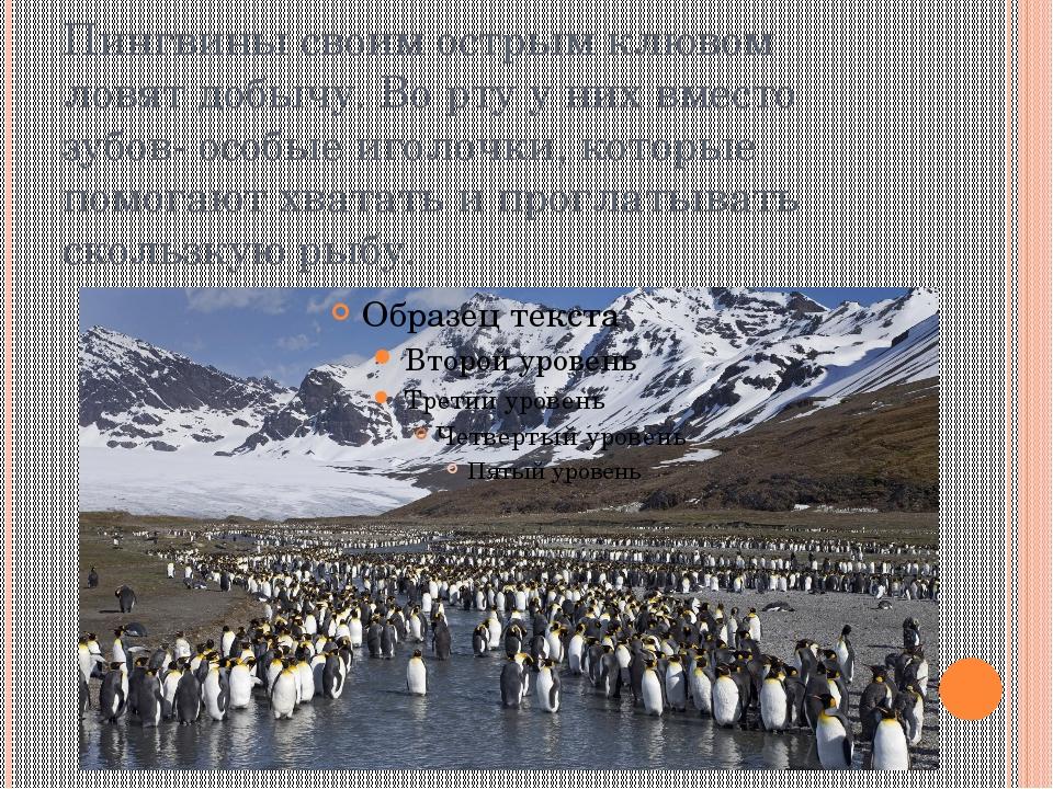 Пингвины своим острым клювом ловят добычу. Во рту у них вместо зубов- особые...