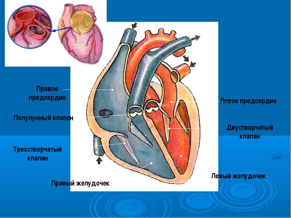 Левый желудочек Двустворчатый клапан Трехстворчатый клапан Правый желудочек П...