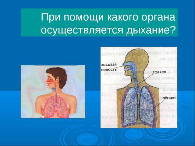 При помощи какого органа осуществляется дыхание?