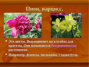 Пион, нарцисс. Это цветы. Выращивают на клумбах для красоты. Они называются д