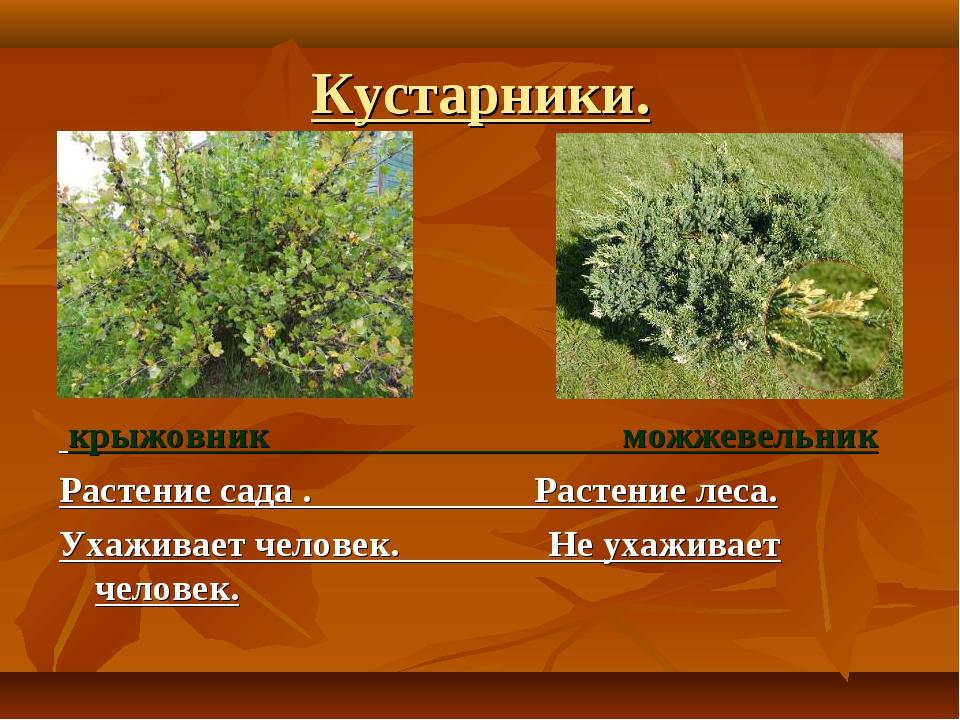 Кустарники. крыжовник можжевельник Растение сада . Растение леса. Ухаживает ч...