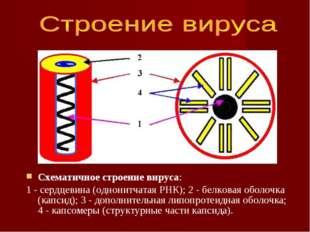 Схематичное строение вируса: 1 - сердцевина (однонитчатая РНК); 2 - белковая
